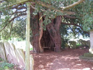Much Marcle - Herefordshire - St. Bartholomew - yew tree